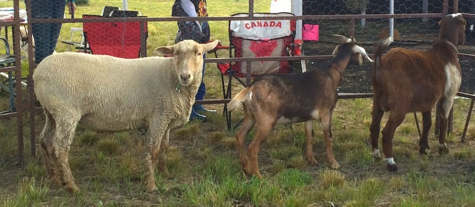 Auch die Tiere im eigens aufgebauten Streichelzoo sind gespannt darauf was es auf den Valemountain Days so alles zu sehen gibt.